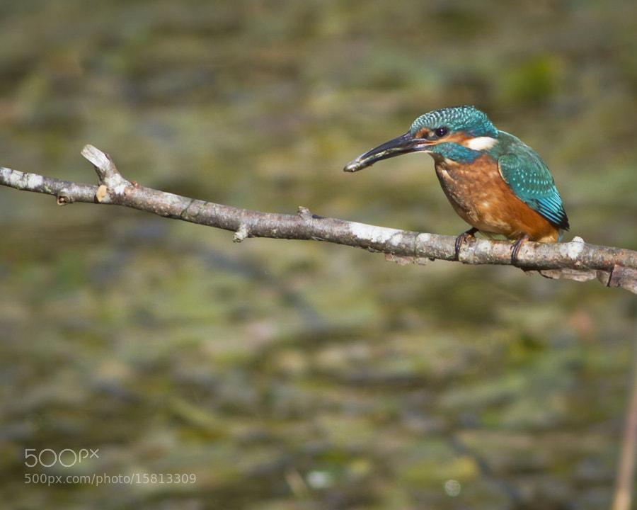 Kingfisher by Steve Burnett (Dead_Yankee) on 500px.com
