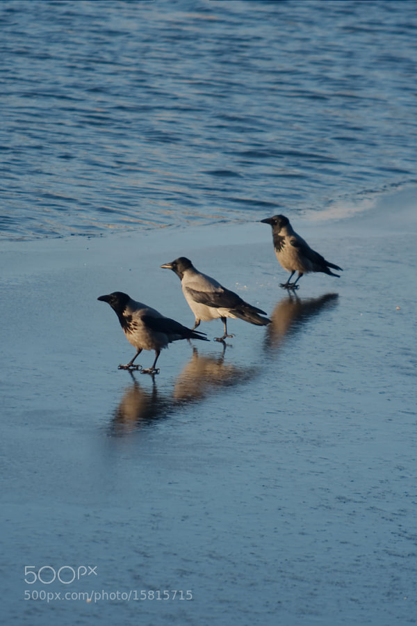 Photograph Crows on ice by Fred Gates on 500px