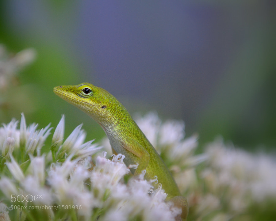 Young anole hunts among flowers