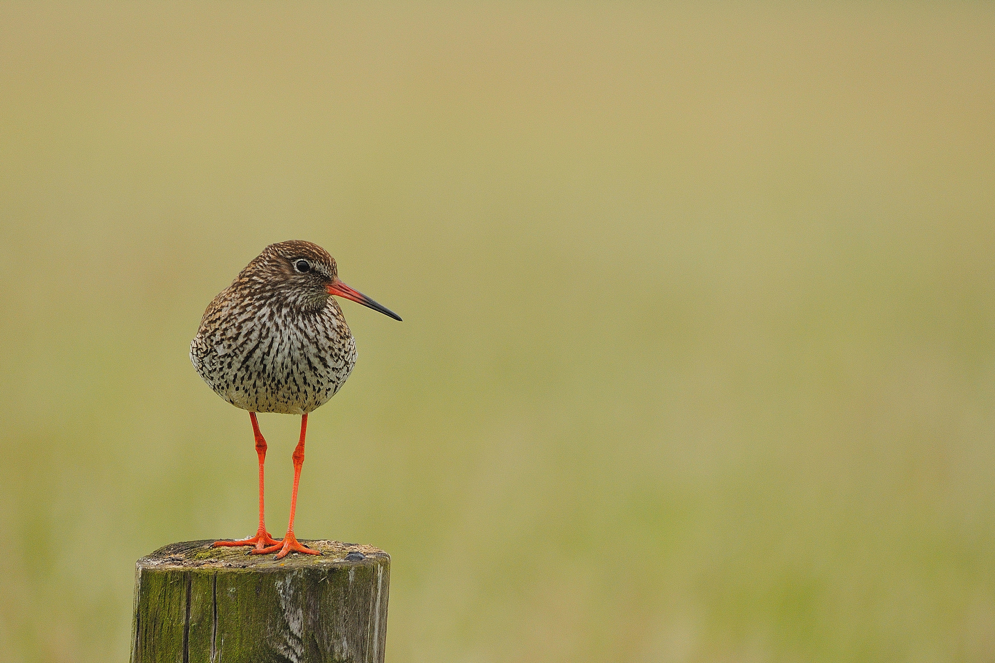 Photograph Redshank by B Timmer on 500px