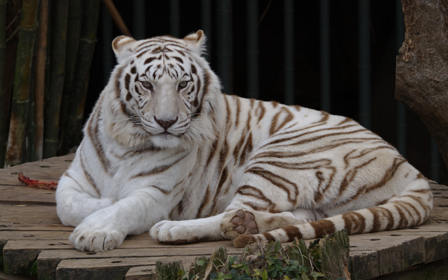 The White Tiger by Adam Caudill on 500px.com