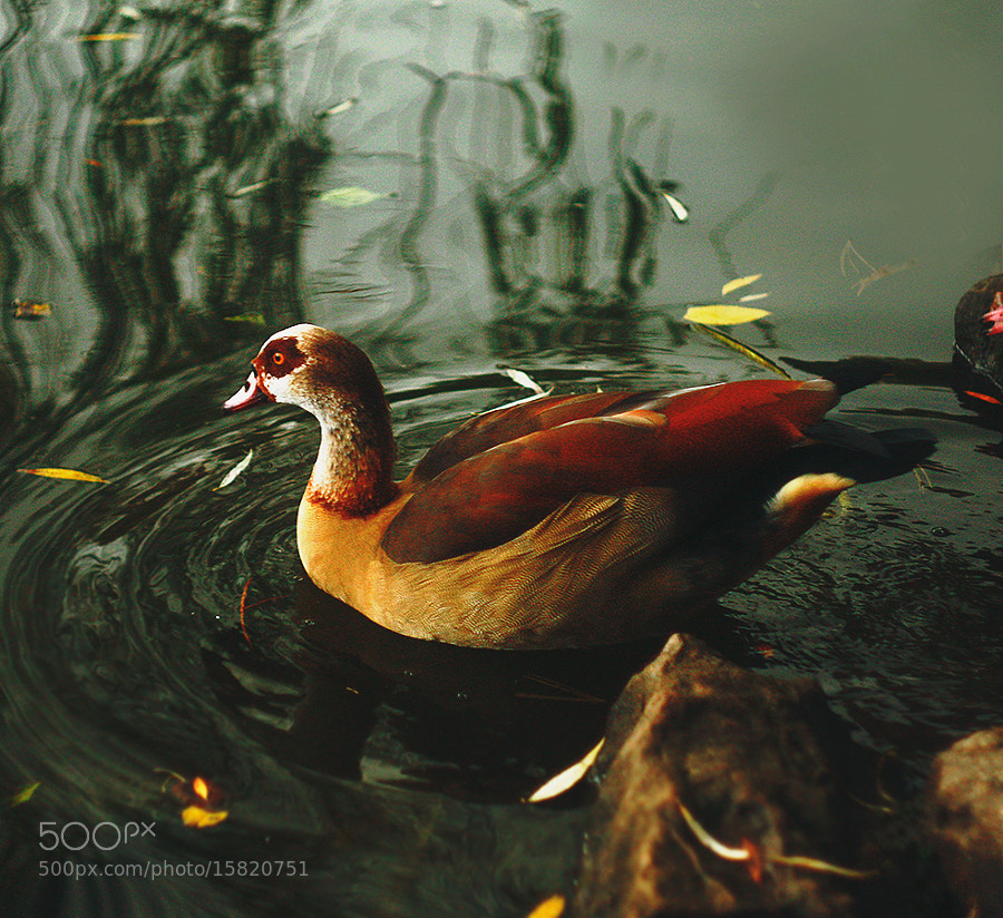 Photograph Ente by Vika Ezhevika on 500px