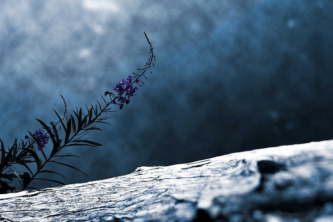 Photograph Flower on Cool Blue by Xavier Wiechers on 500px