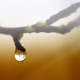 Water Droplet in Branch