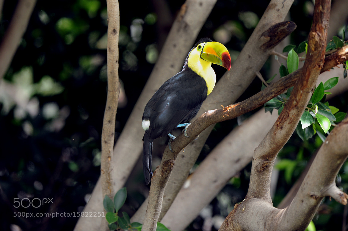 Photograph Toucan watching me by Cristobal Garciaferro Rubio on 500px