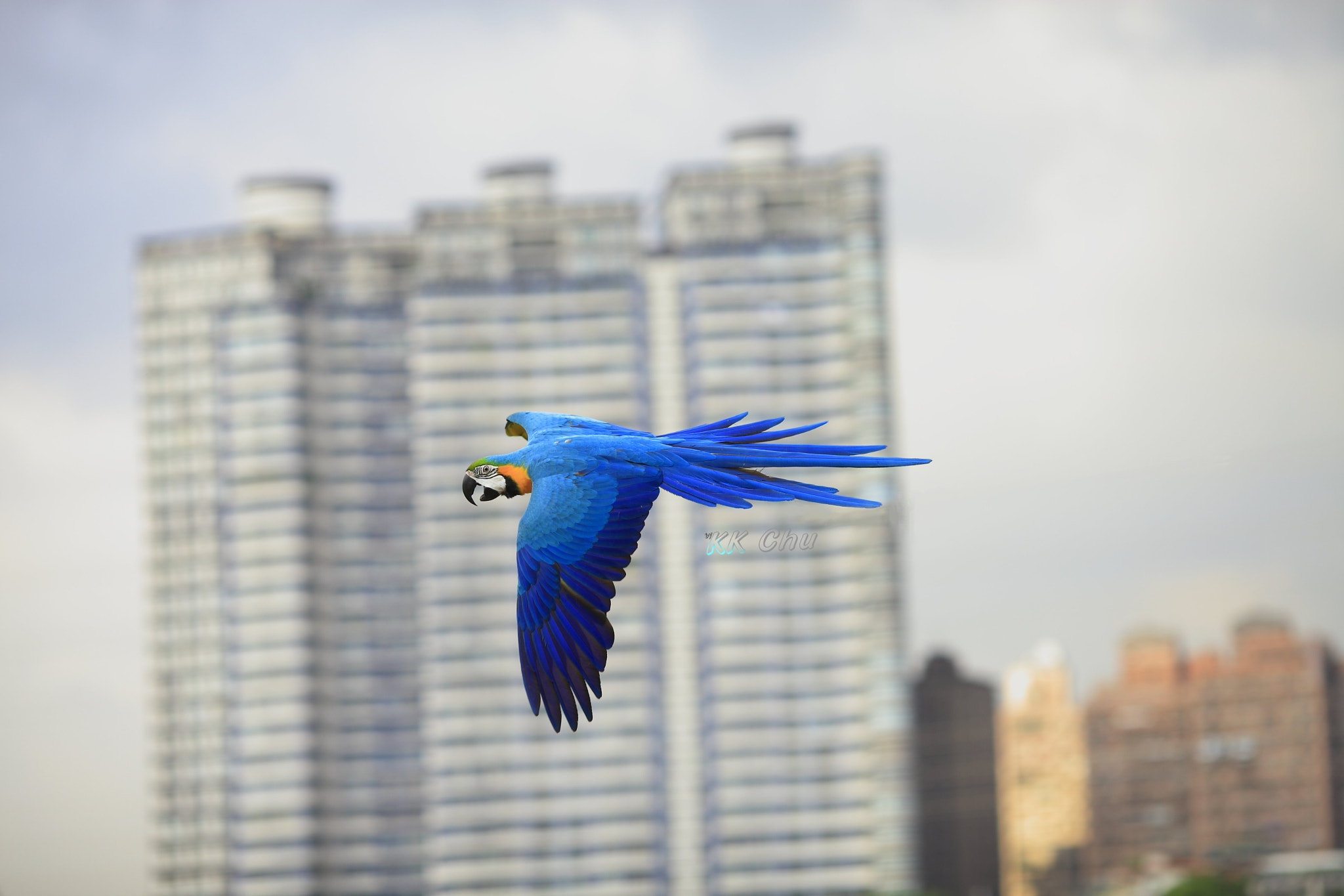 Photograph FLY Blue and Gold Macaw by KK CHU on 500px