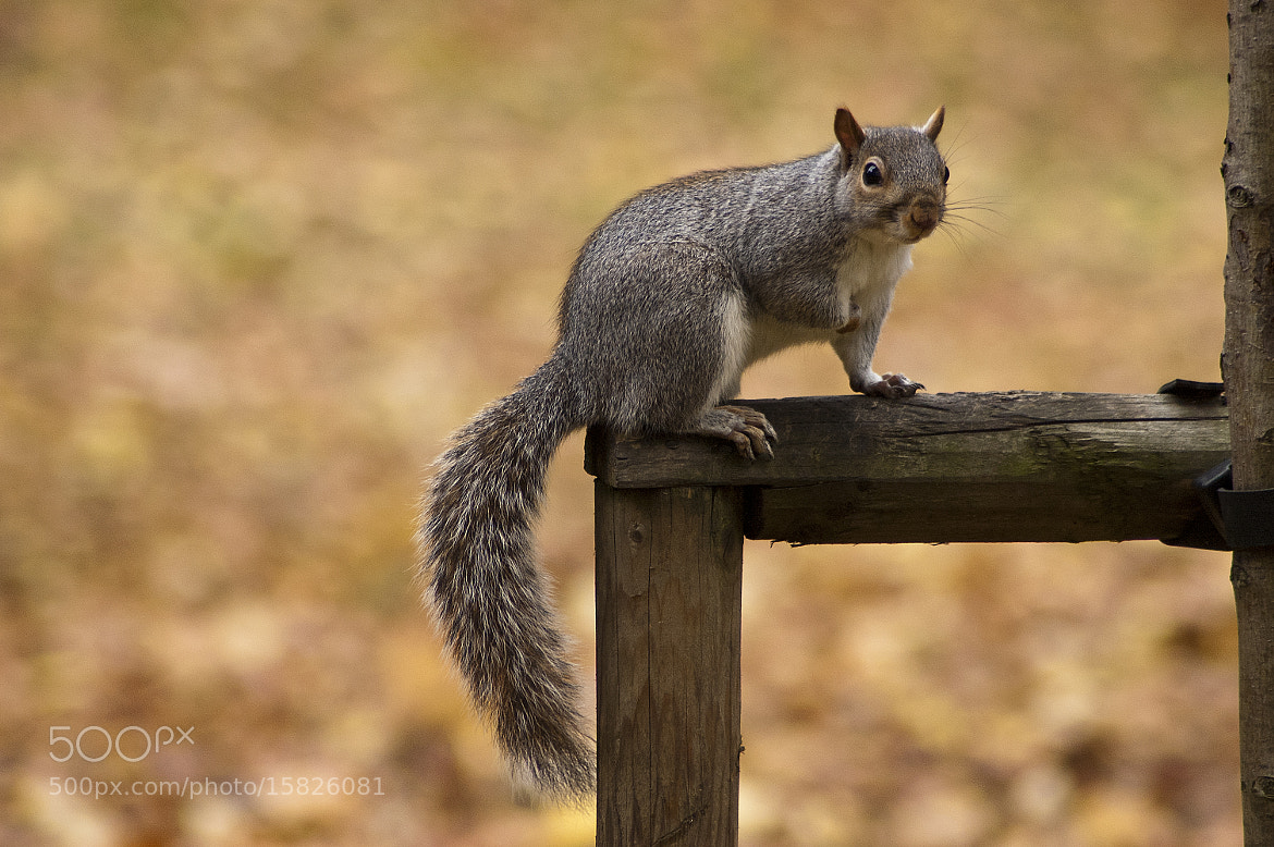 Photograph Grey Squirrell by Magdalena Warmuz-Dent on 500px