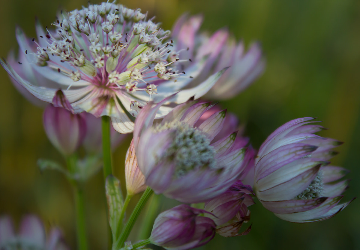 Photograph Astrantia by Adam Z on 500px