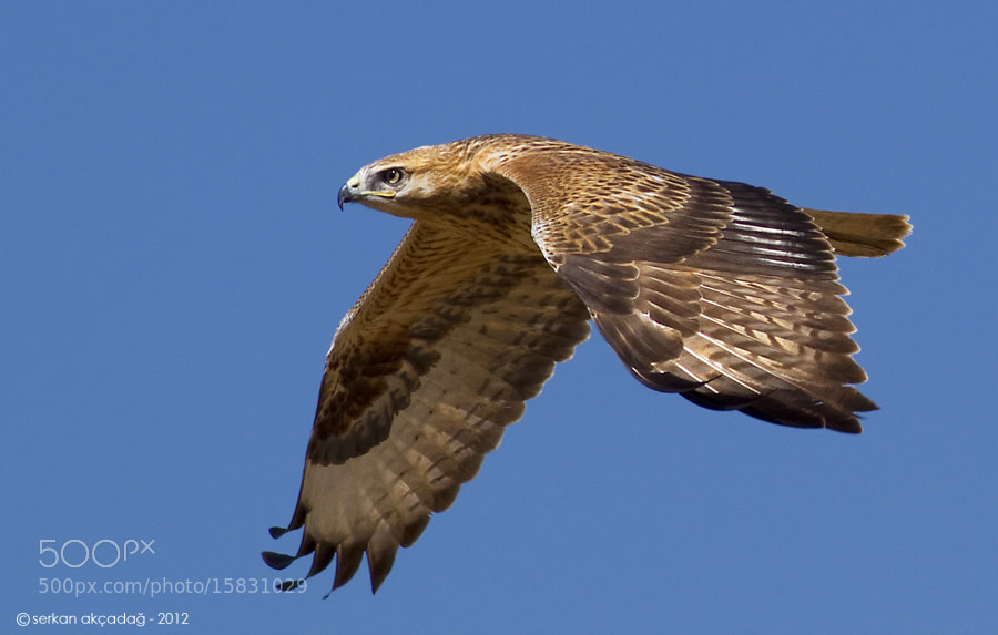 Photograph Long-legged buzzard  by Serkan Akçadağ on 500px