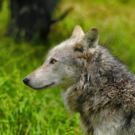 UK Wolf Conservation Trust