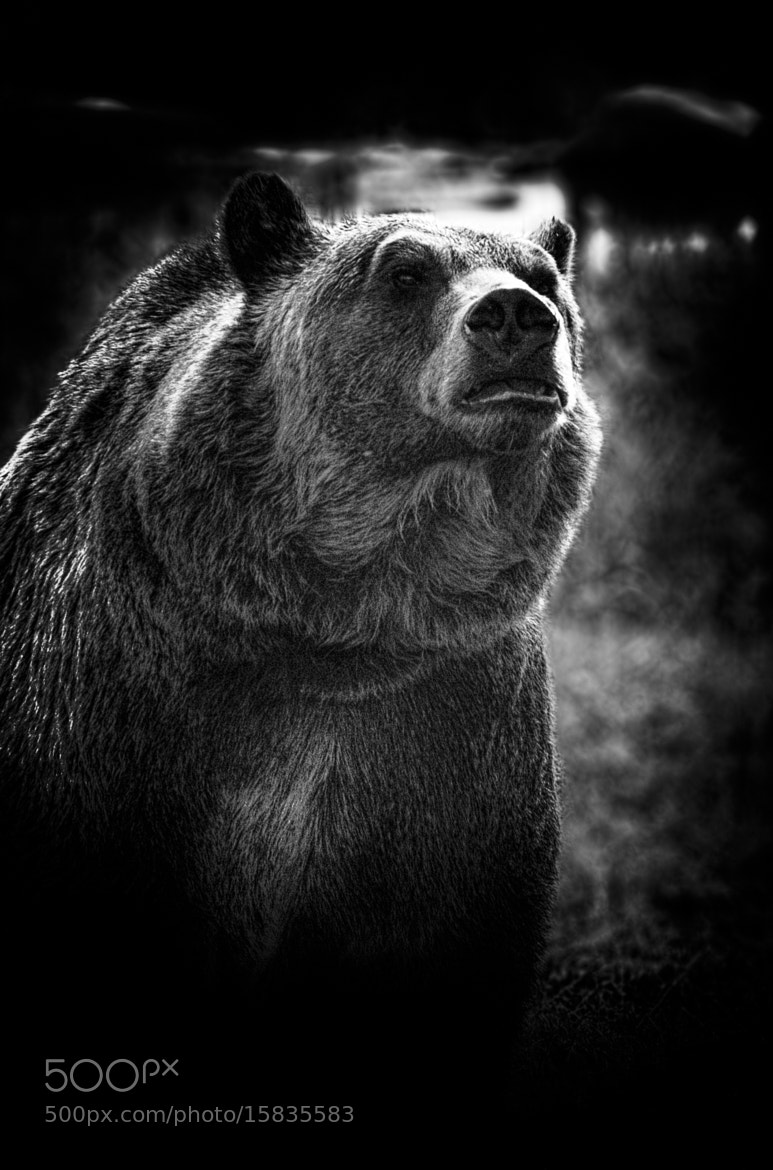 Photograph Grizzly Bear B&W by Xavier Wiechers on 500px