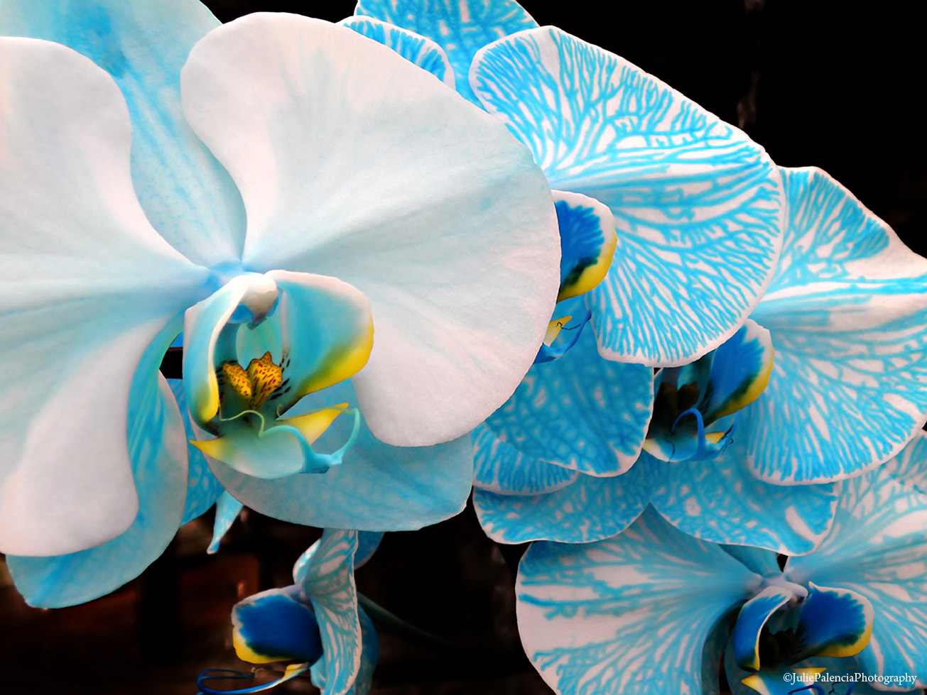 Photograph Orchid 3 by Julie Palencia on 500px
