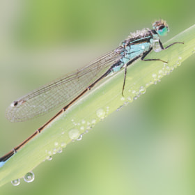 The blue-tailed damselfly (Ischnura elegans) by Agata Bednarska