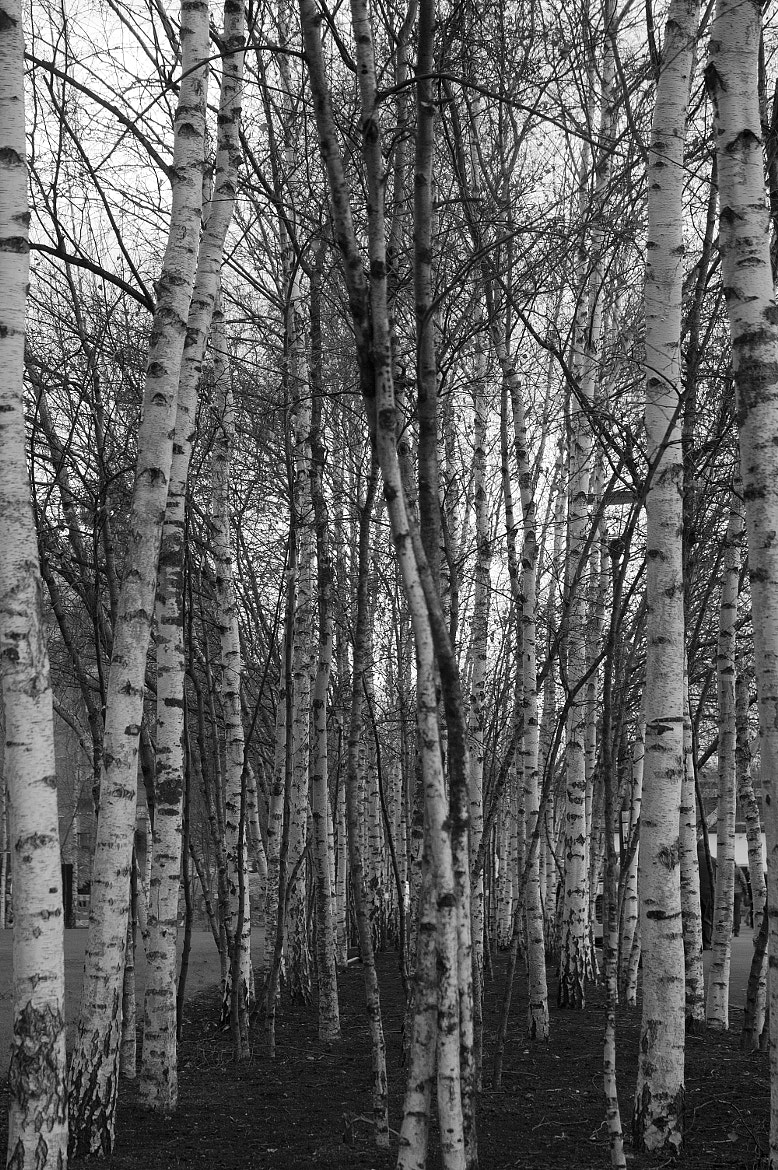 Photograph Grove of birch trees by Magdalena Warmuz-Dent on 500px