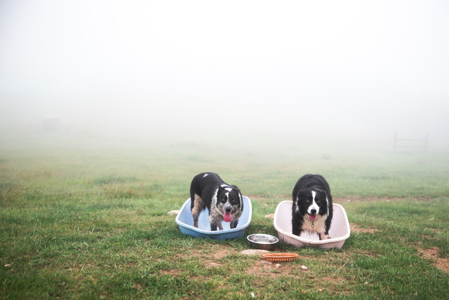 Two Sheep Dogs. Border Collie by Yusun Chung on 500px.com