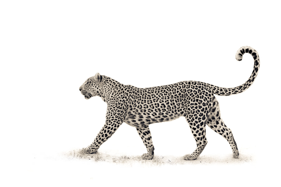 Photograph The Leopard by Mario Moreno on 500px