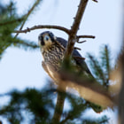 A juvenile Peregrine falcon high atop a pine tree at the Reifel Migratory Bird Sanctuary, near Ladner, BC, Canada.