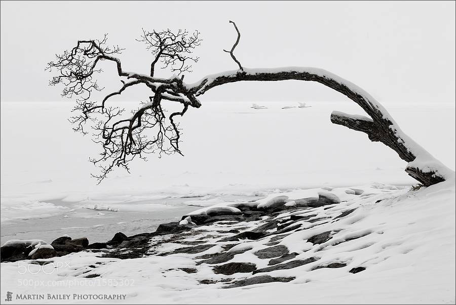 Photograph Old Tree with Four Swans by Martin Bailey on 500px