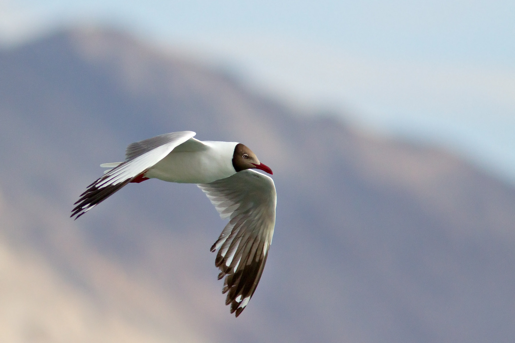 Photograph Brown-headed Gull in flight by Shreeram M V on 500px