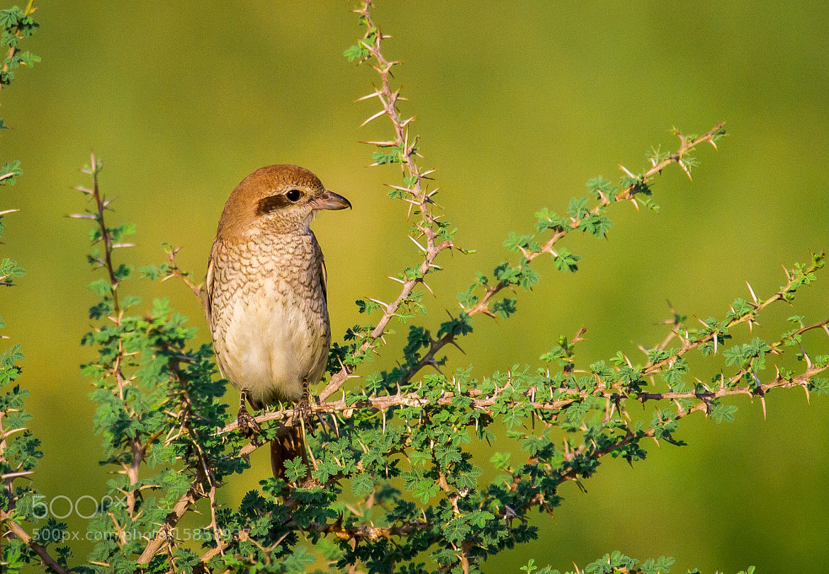 Photograph Isabelline Shrike by Physel Poilil on 500px