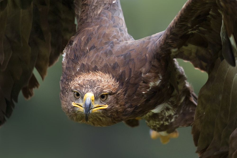 Photograph Eagle by Stefano Ronchi on 500px