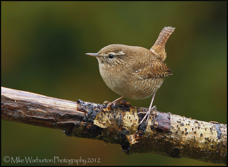 Photograph Wren by Mike Warburton on 500px
