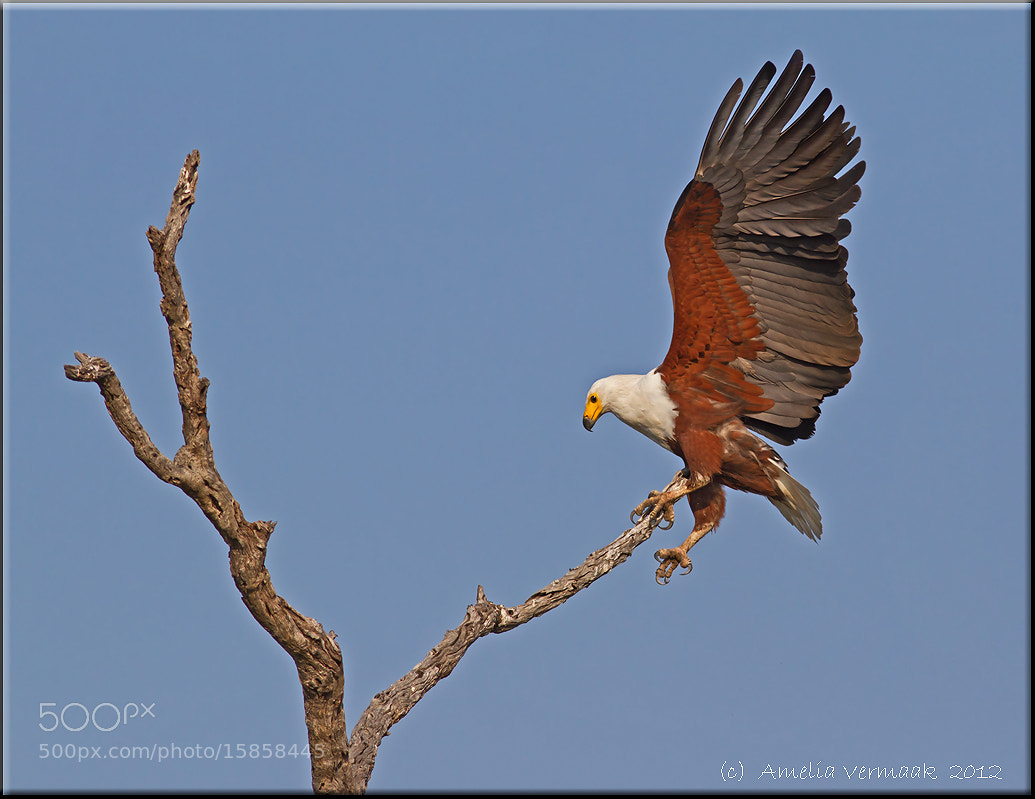 Photograph African Fish Eagle by Amelia Vermaak on 500px