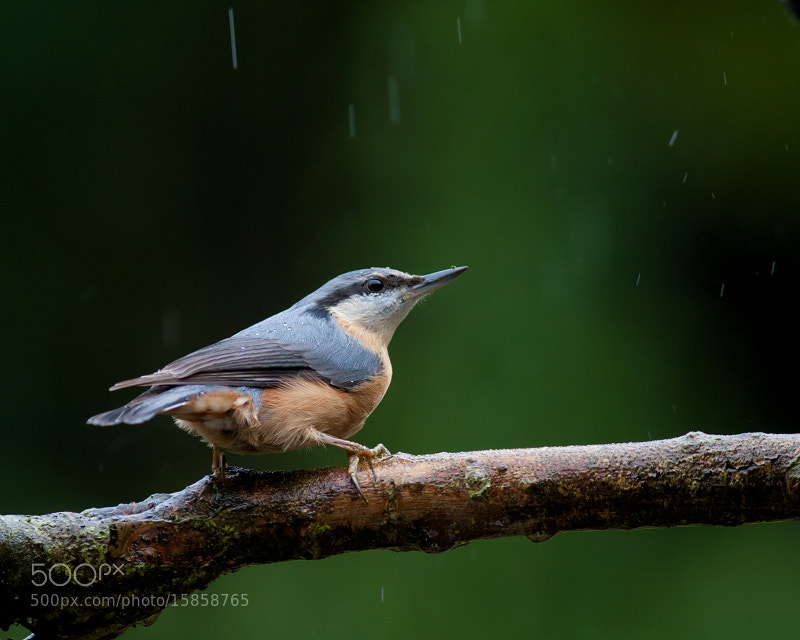 Photograph Nuthatch / Boomklever by Marcel van Os on 500px