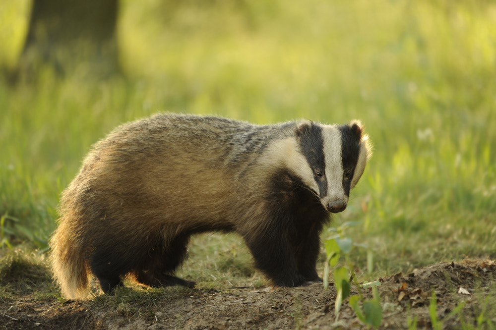 Photograph Male Badger by Eike Mross on 500px