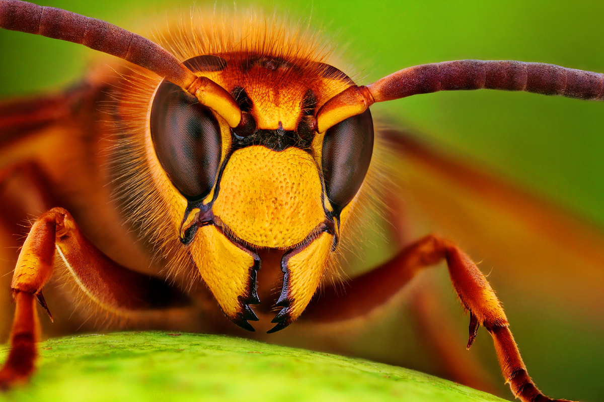 Photograph Hornet by Dusan Beno on 500px