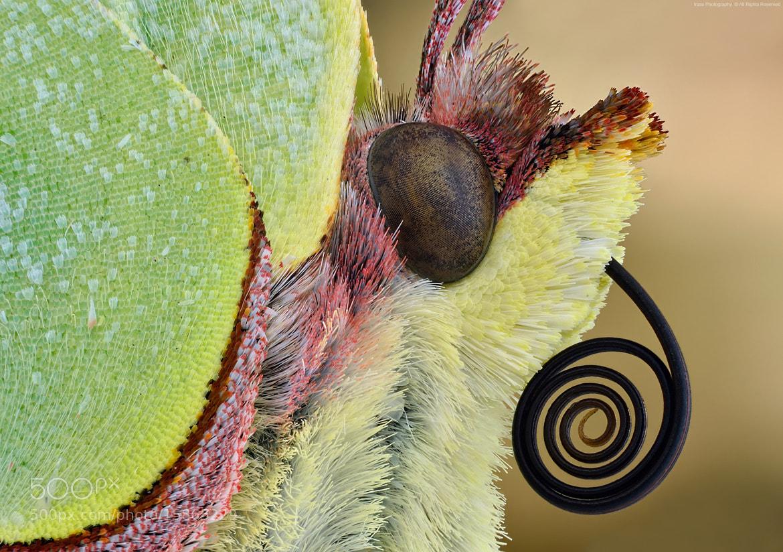 Photograph Latolistek cytrynek. by ireneusz irass walędzik on 500px