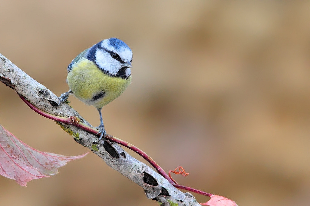 Photograph autumnal blue tit 2 by wise photographie on 500px