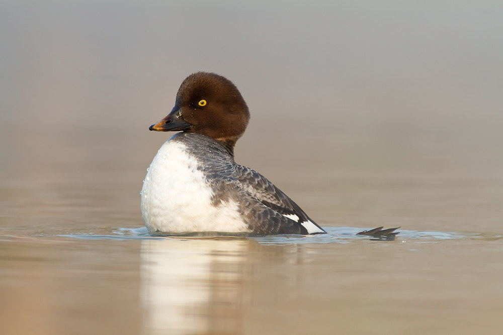 Photograph goldeneye (Bucephala clangula) by Christoph Jansch on 500px