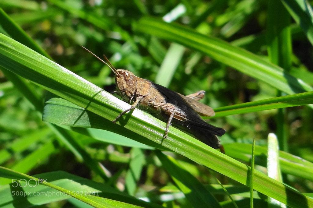 Photograph Grasshopper by Игорь Орлов on 500px