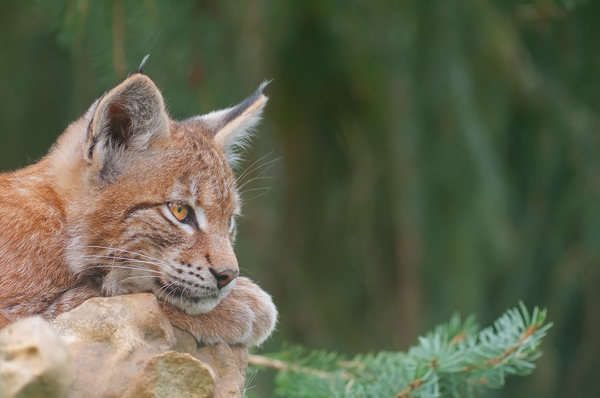 Photograph Baby Lynx by Rob Janné on 500px