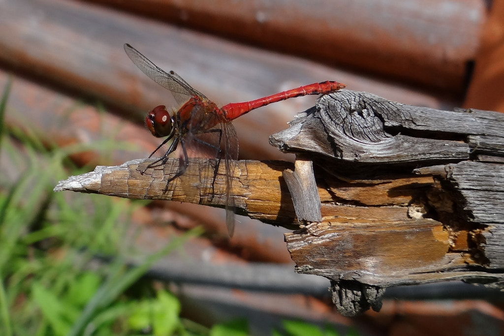 Photograph Dragonfly by Игорь Орлов on 500px