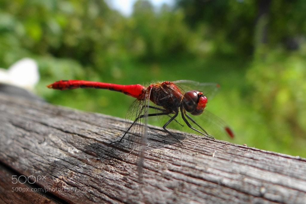 Photograph Dragonfly by Игорь Орлов on 500px