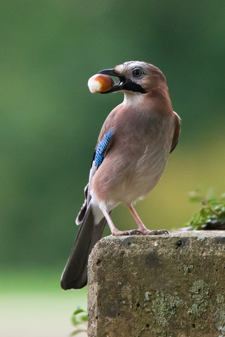 Photograph Eurasian Jay by Marc Gengler on 500px