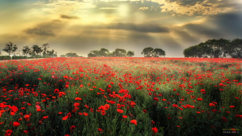 Poppy field by Klassy Goldberg on 500px