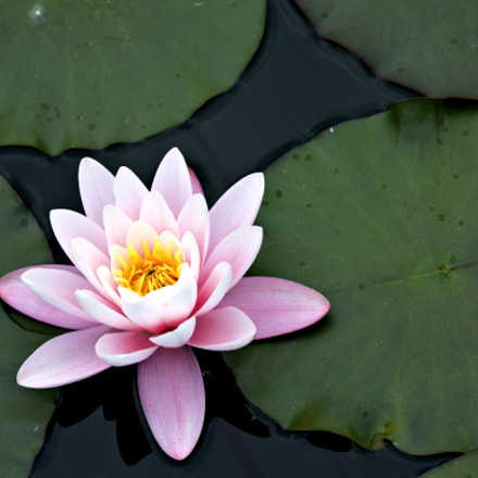 waterlily, Canon EOS 5D MARK III, Canon EF 180mm Macro f/3.5L