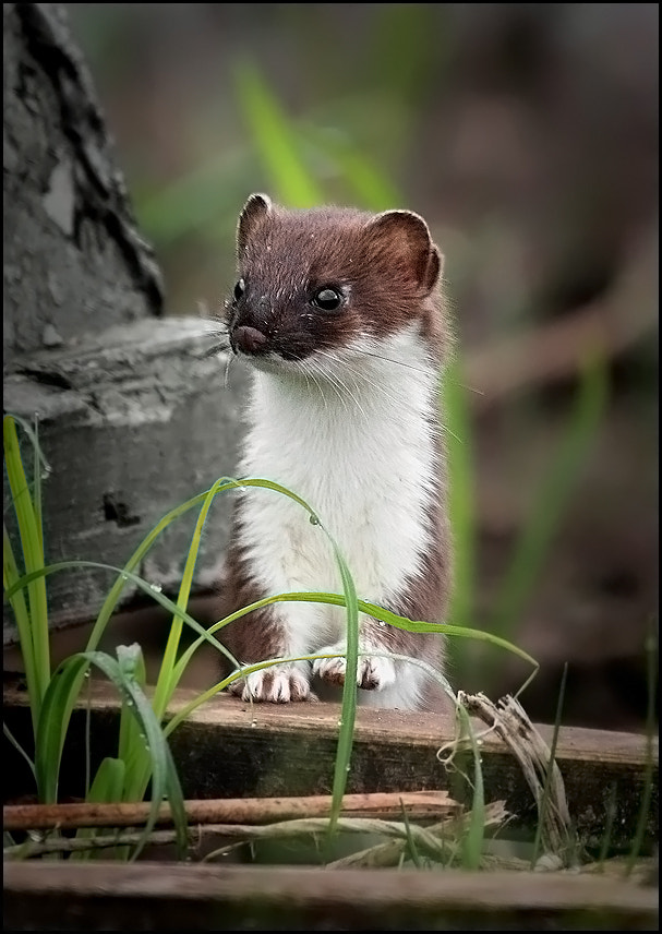 Photograph Weasel by Tatyana Sur on 500px