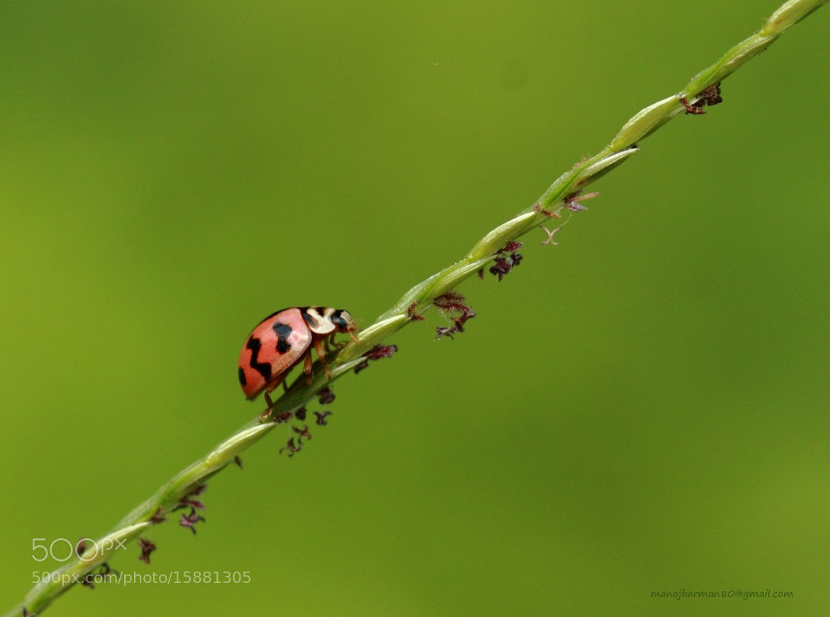 Photograph Lady Bug... by Manoj Kumar Barman on 500px