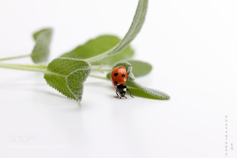 Photograph Ladybug II by Katrin Gerchel on 500px