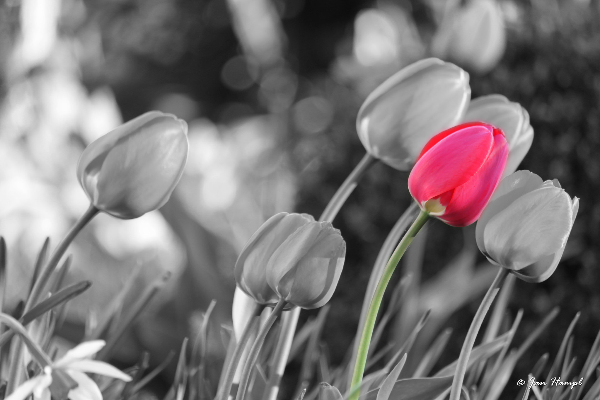 Photograph Tulips by Jan Hampl on 500px