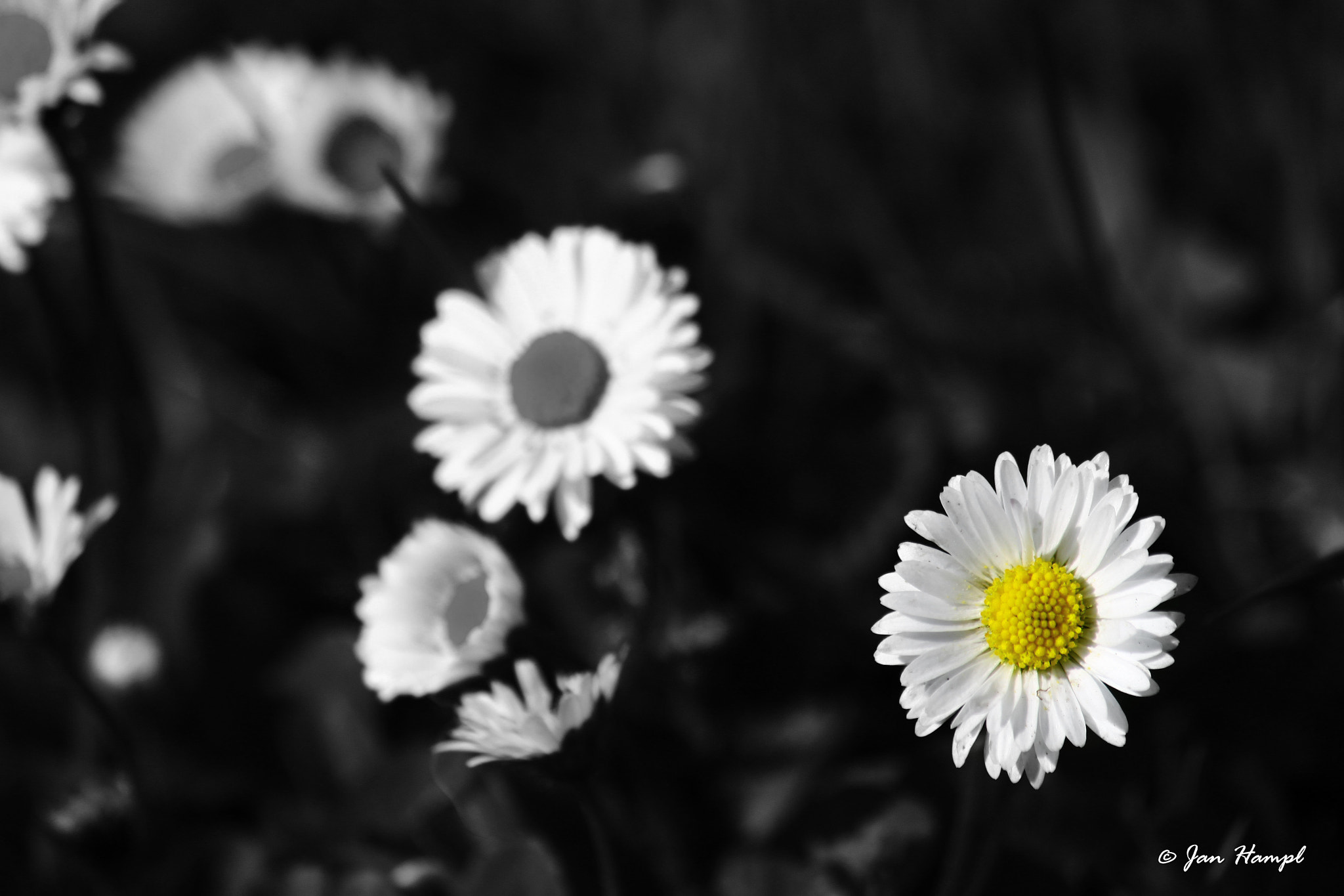 Photograph Daisy by Jan Hampl on 500px