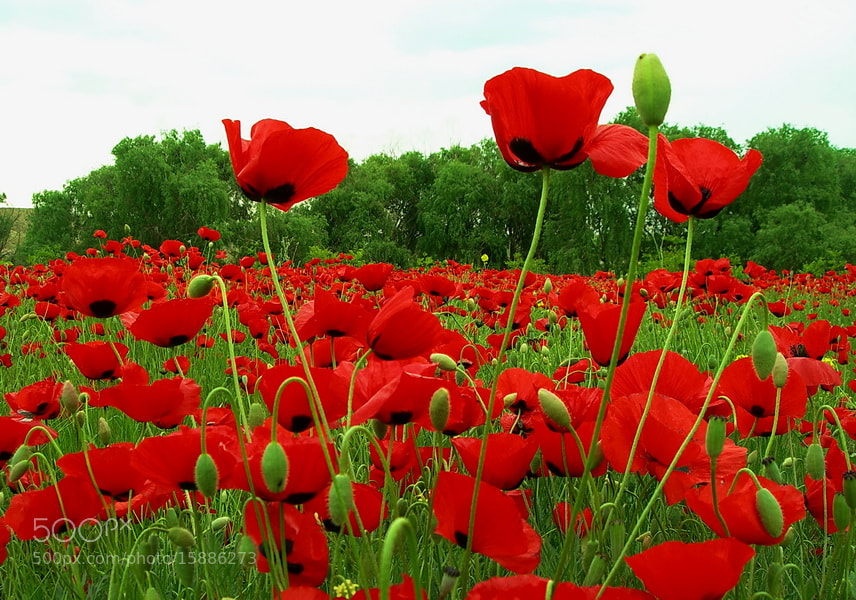 Photograph papaver field by tugba kiper on 500px