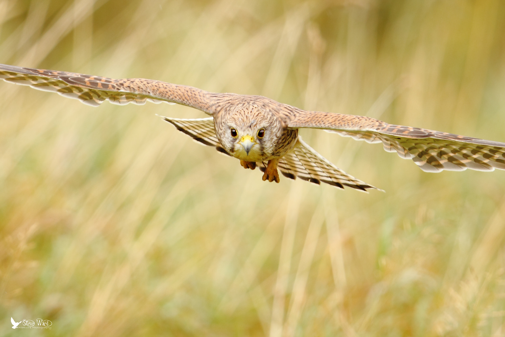 Photograph It's between me and the Kestrel by Steven Ward  on 500px