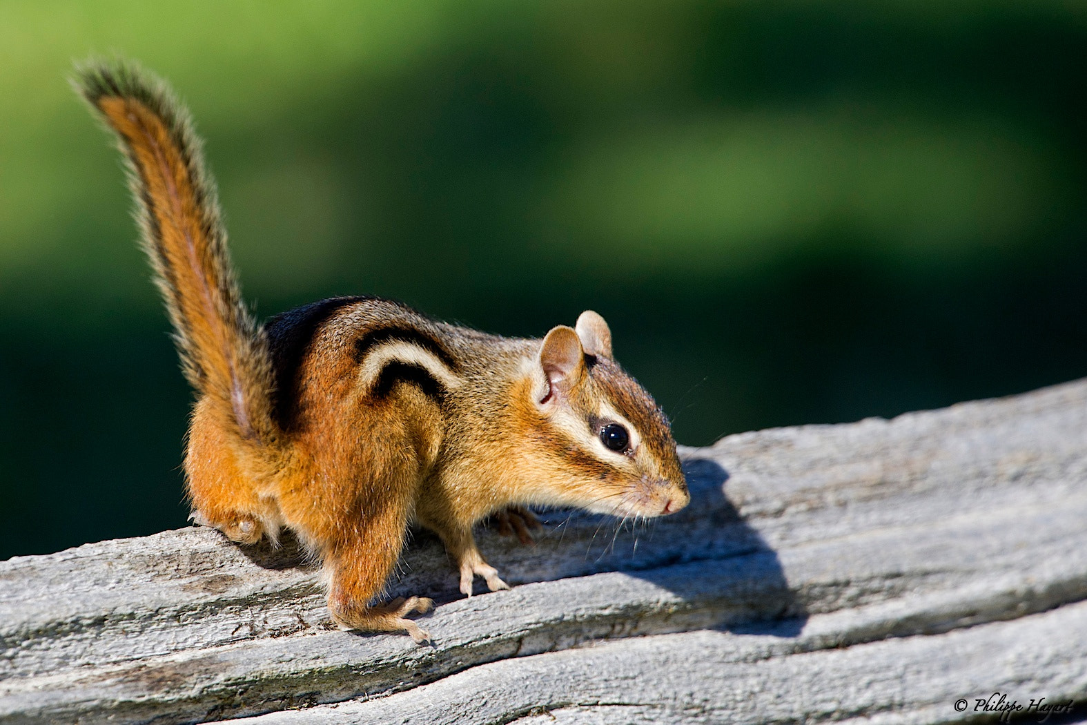 Photograph Eastern chipmunk by Philippe Hayart on 500px
