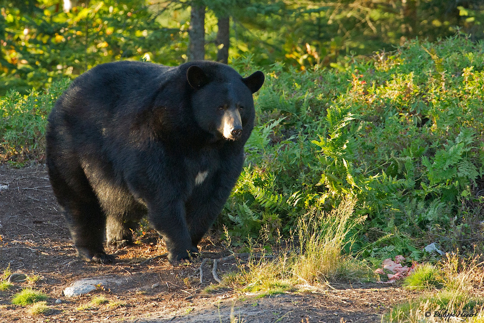 Photograph Black Bear by Philippe Hayart on 500px