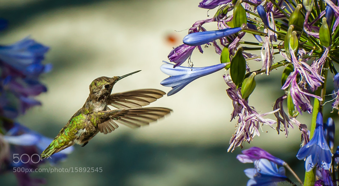 Photograph Hummingbird by Nishchal Rana on 500px
